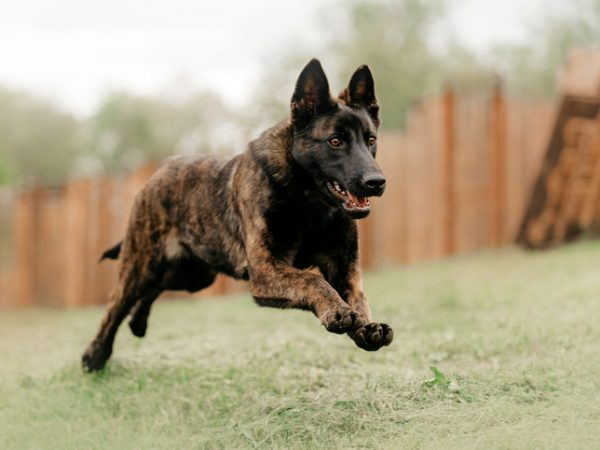 6 Types of Guard Dogs for Seniors